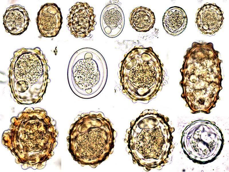 pinworm tojások a pápán emberi férgek pinworm kezelése