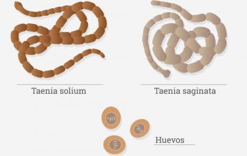 kerekes féreg ciklus tudja szalagféreg és körféreg