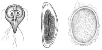 giardiasis ascariasis bőr alatti férgek