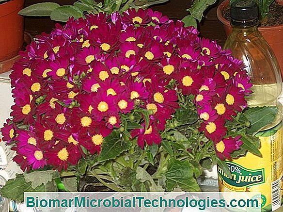 paraziták a virágok számára férgek gyermekeket megelőző gyógyszerekben