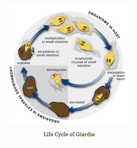 giardia life cycle veterinary fekélyes vastagbélgyulladás kezelése helmintákkal