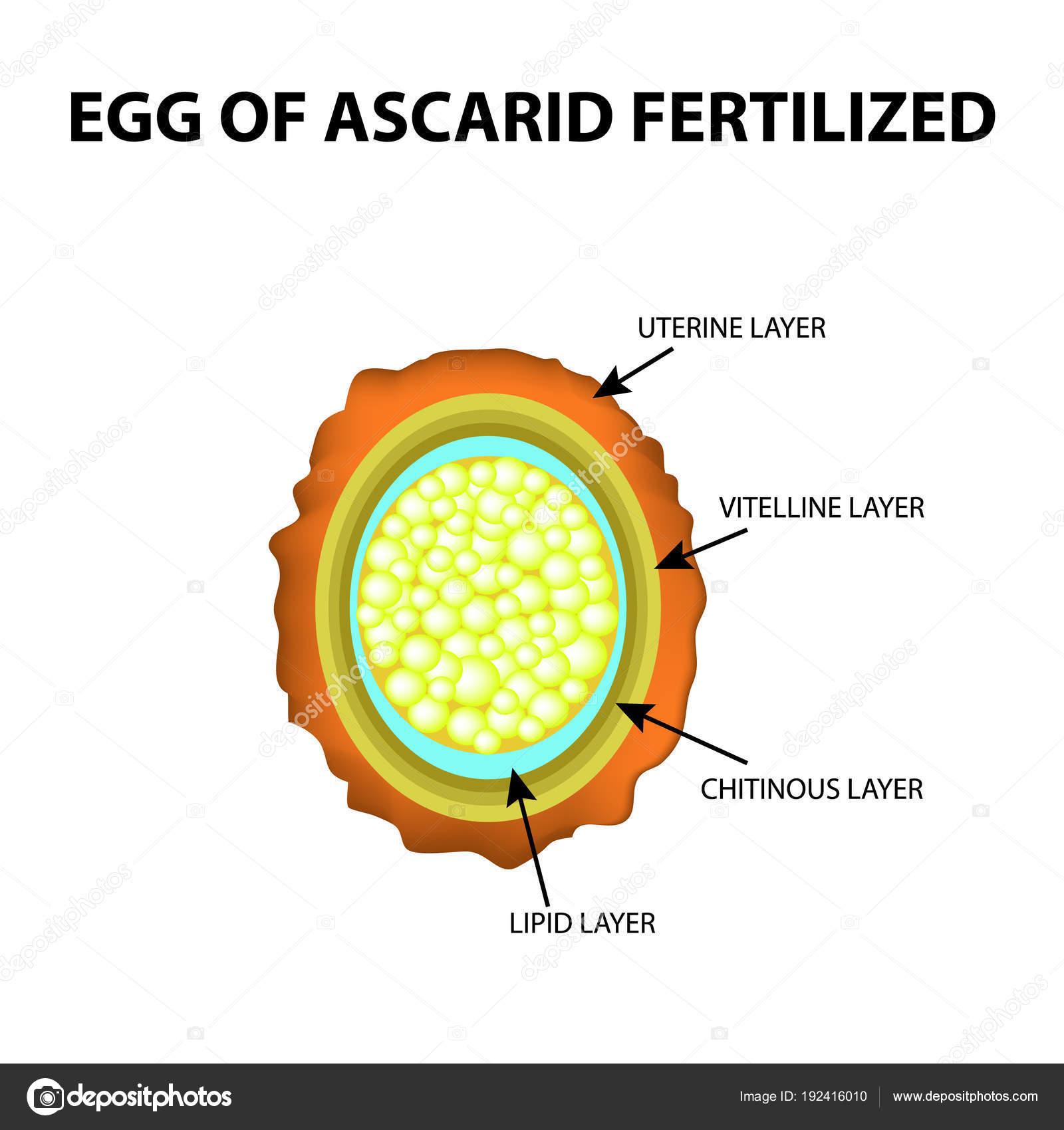 Helminth tojások fajai, A tojás fajtái