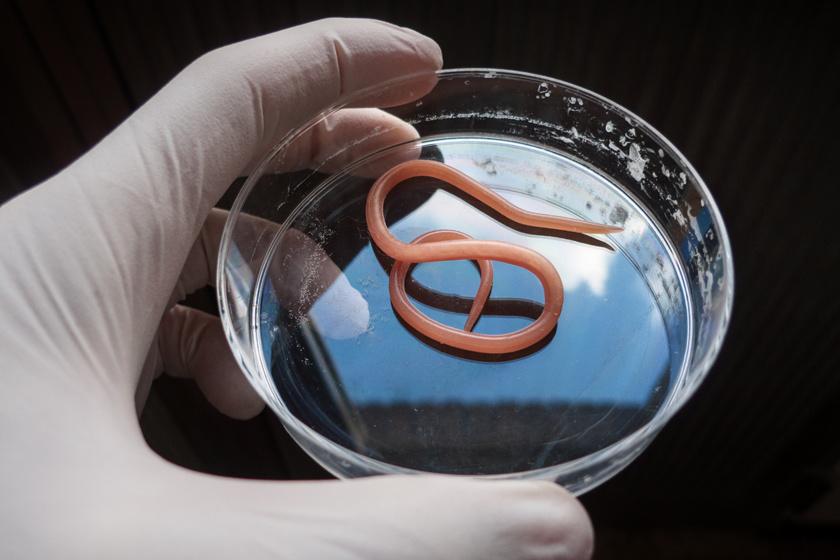 terhes nők férgek elleni gyógyszer a férgek megölhetnek egy embert