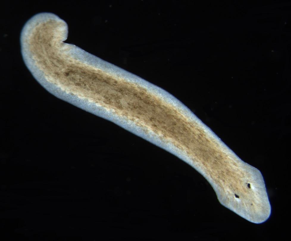 planaria phylum platyhelminthes