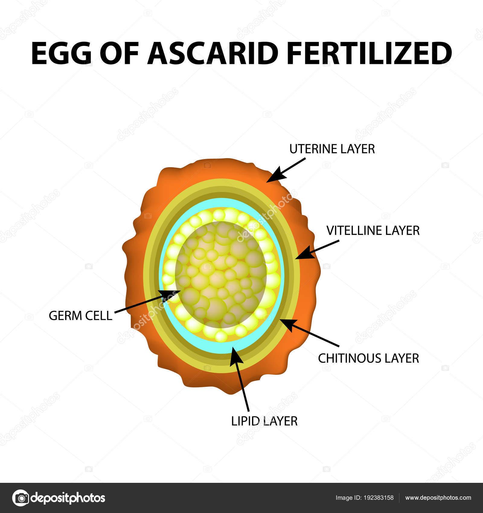 pinworm tojások a pápán gyermekek számára féregkészítmények
