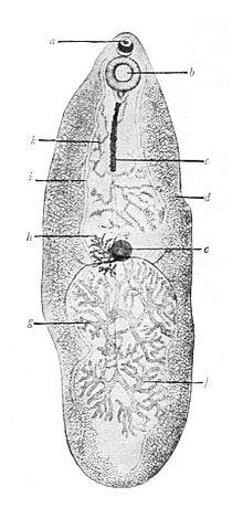 helminthiases okoz paraziták tünetek kezelése