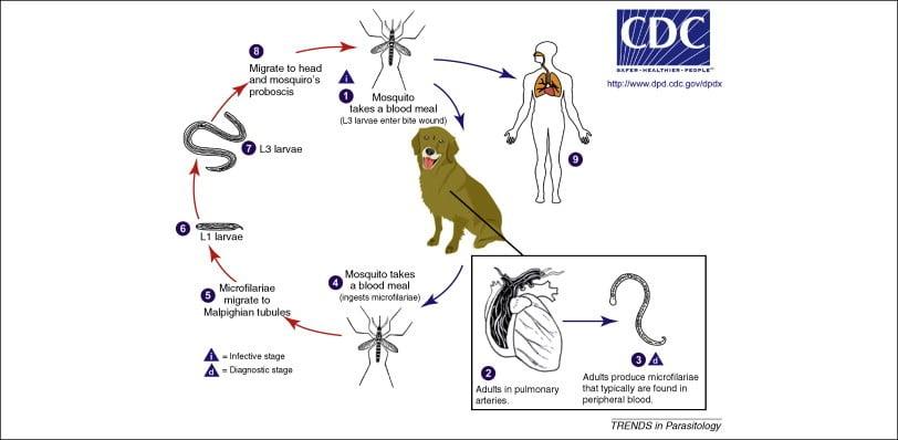 szivfergesseg megelozo gyógyszer három gyógymód a parazitákra