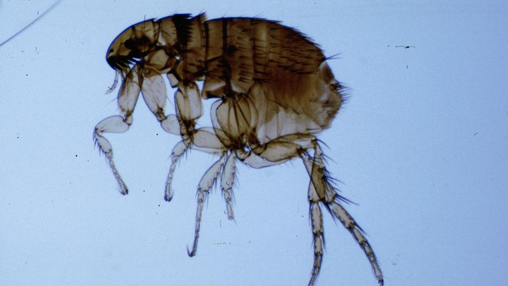 galandféreg lovak helminthic betegségek meghatározása