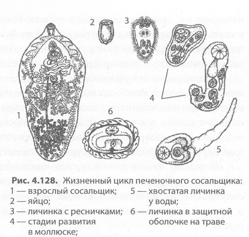 ciliáris férgek paragon mellékhatások paraziták