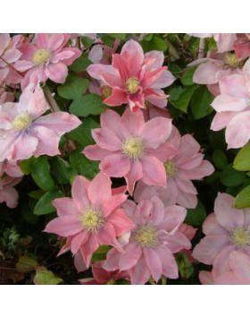 férgek rózsaszín lazacban