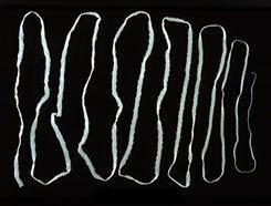 kifejlett galandféreg