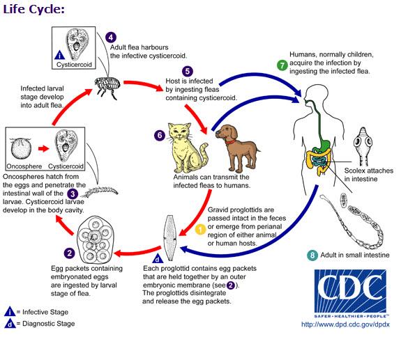 giardia life cycle veterinary