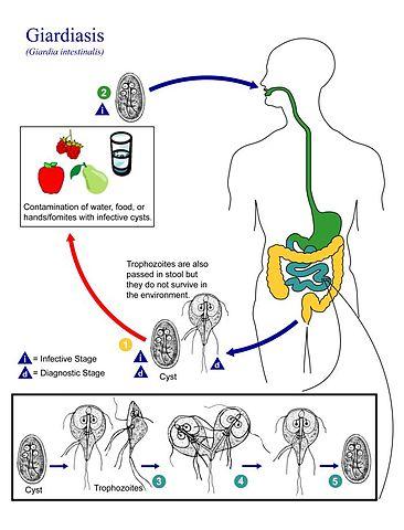 giardia duodenalis ciclo de vida jelmez parazita