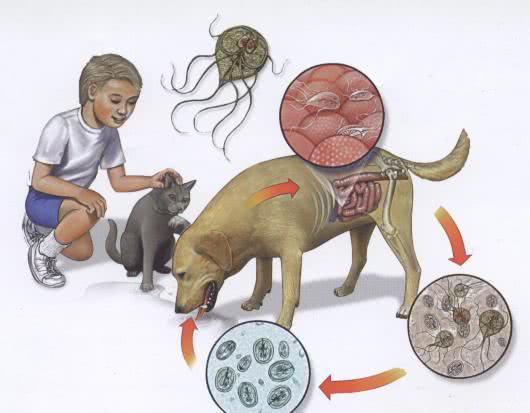 que es la giardiasis canina helmint tabletta neve
