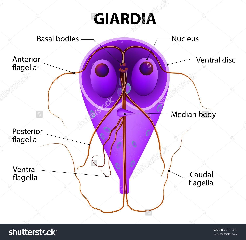 giardiasis és ízületek