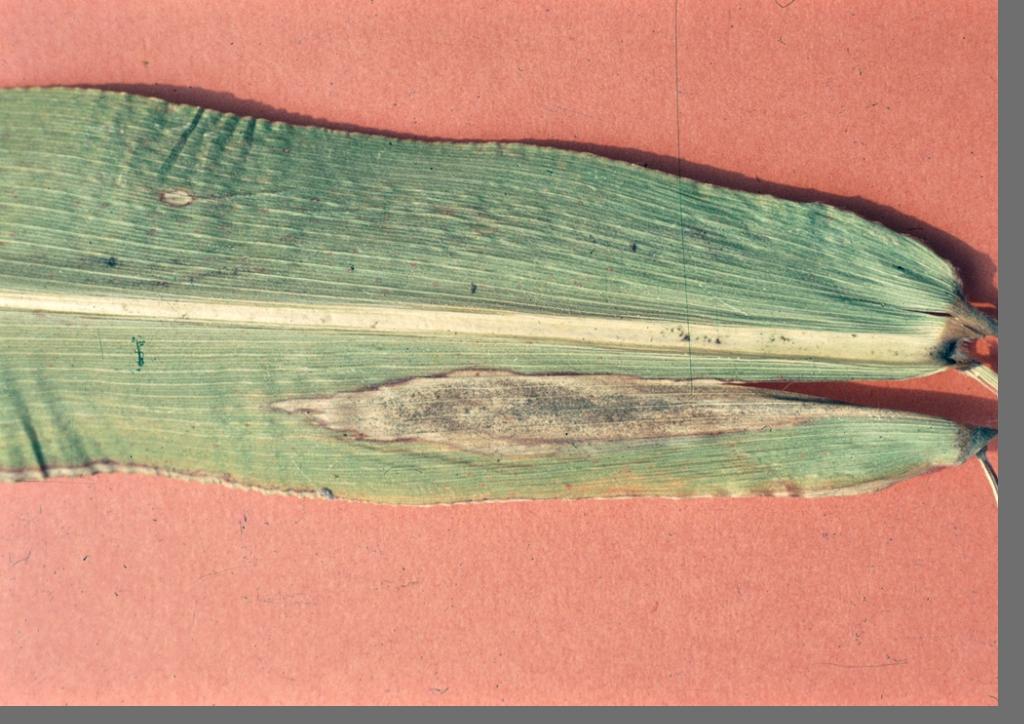 helminthosporium turcicum kukorica