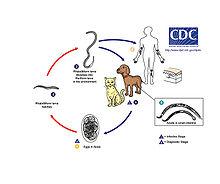 necatoriasis amerikanus parazitaellenes gyógyszer megelőzésre
