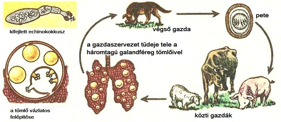 parazita szarvasmarha féreg